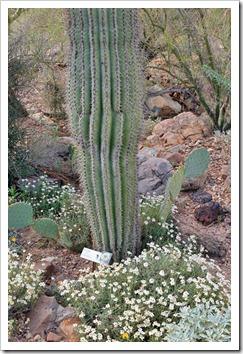120728_ArizonaSonoraDesertMuseum_Carnegiea-gigantea_02