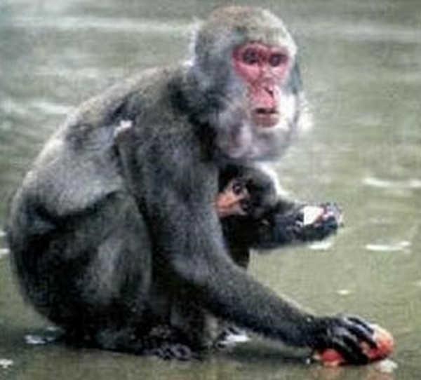 4- Macaco japonês