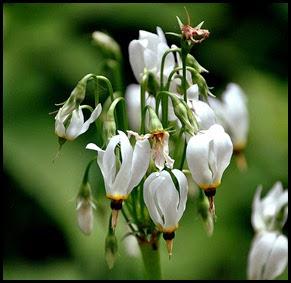 04 - Spring Wildflowers - Shooting Star