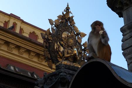Maimuta pe templu Nepal