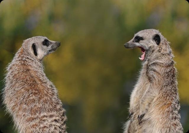 Meerkats David Nordell Image 2