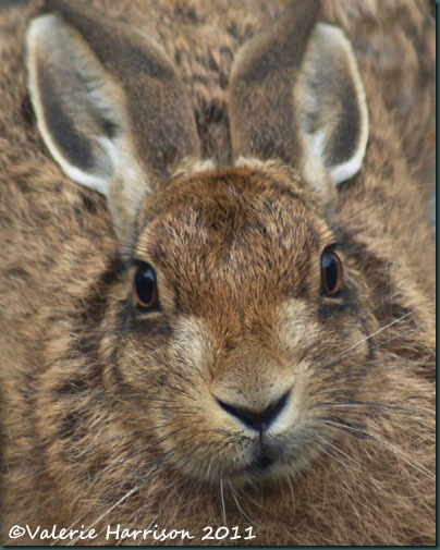 1 hare-close-up