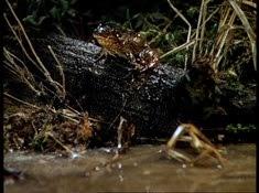 28 la grenouille
