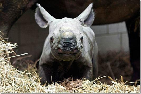GERMANY-ANIMALS-RHINOCEROS