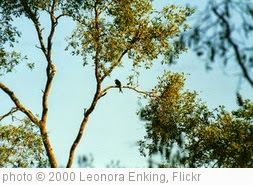 'Crested Drongo in Tamarind tree' photo (c) 2000, Leonora Enking - license: https://creativecommons.org/licenses/by-sa/2.0/