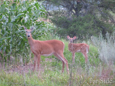 Doe and Fawn July 14 2012