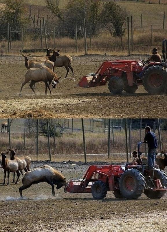 Deer-vs-tractor