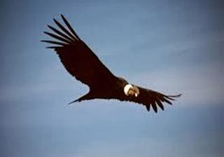 Amazing Pictures of Animals, Photo, Nature, Incredibel, Funny, Zoo, Andean Condor, Vultur gryphus, bird, Alex (14)