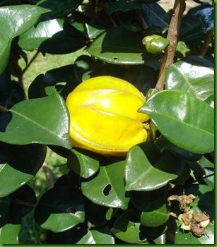 Eugenia neonitida