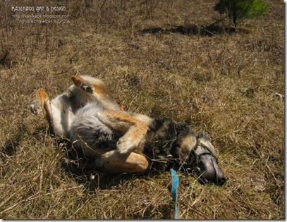 upside_down_german_shepherd_dog72