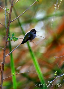 7. annas hummingbird-kab