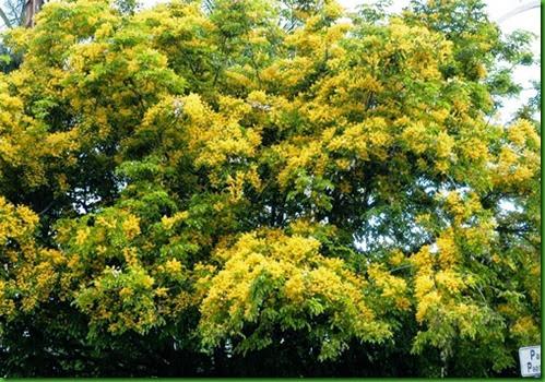 Pterocarpus indicus 1