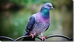 pigeon-1280x720