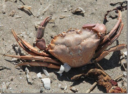 36-dead-crab