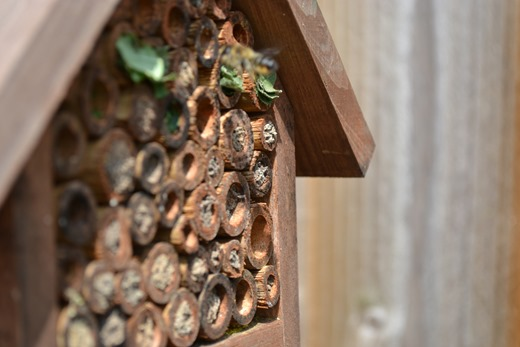 Leaf-cutter bees making nest chambers