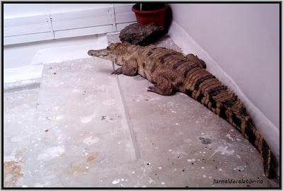 crocodilul cu platosa.jpg