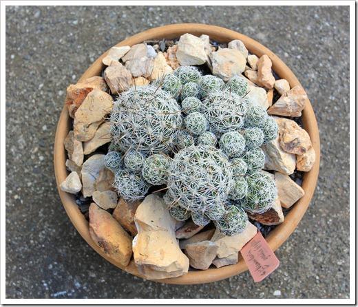 130505_Mammillaria-gracilis-fragilis