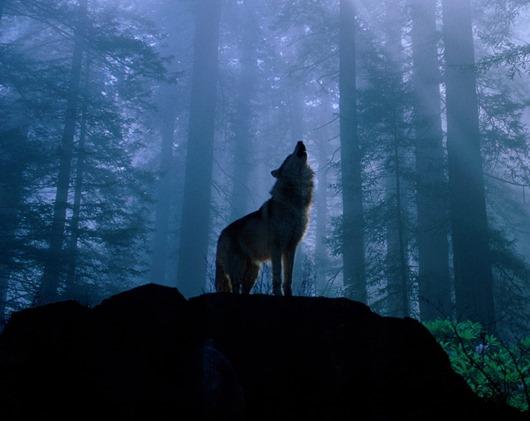 u878_9674_wolf