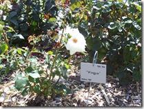 2013.07.17-001 rose Virgo