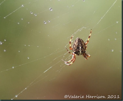 4-garden-cross-spider
