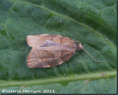 dark-fruit-tree-tortrix