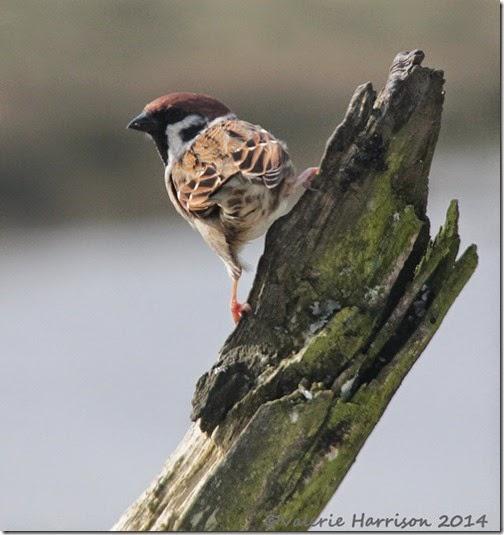 123-tree-sparrow