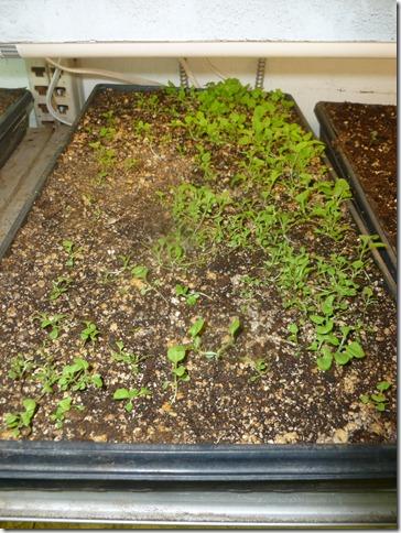Petunia Hybrida Choice