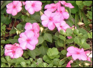 impatiens-walleriana7