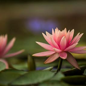 WATER LILY by Monish Kumar - Flowers Single Flower (  )