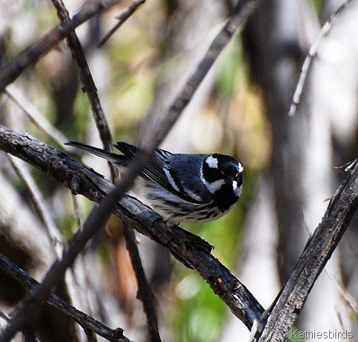 12. black-throated gray warbler-kab