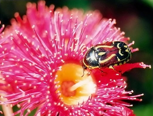 Amazing Pictures of Animals, Photo, Nature, Incredibel, Funny, Zoo, Eupoecila australasiae, fiddler beetle or rose chafer, Insecta, Alex (10)