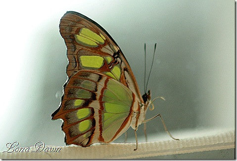 FPC_Butterfly_Malacite_Siproeta_stelenes2