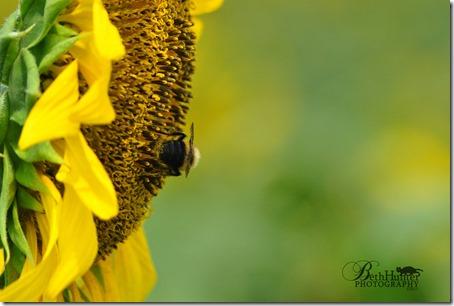 cr-sunflower-bee-0072-wb