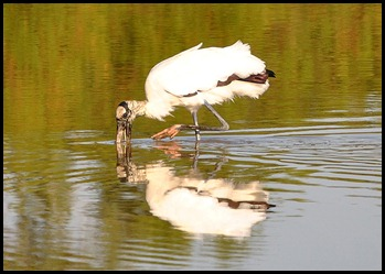 08f - Eco Pond - Wood Stork
