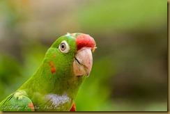 Crimson-fronted Parakeet (Aratinga finschi)