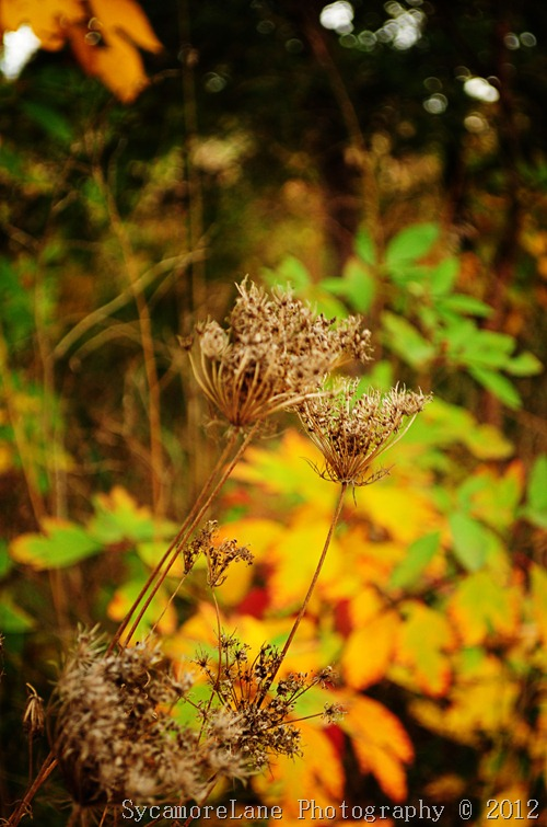 queen annes lace and fall colors