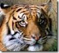 tigerhead21_thumb