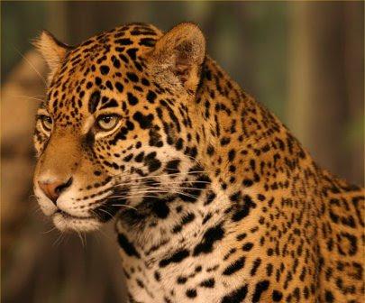 14. jaguar.jpg