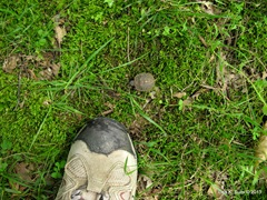 baby box turtle with foot for scale