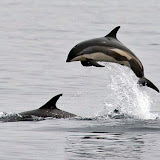 Leaping atlantic white-sided dolphin