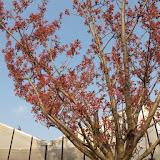 Prunus serrulata 'Kwanzan' - Cerisier à fleurs