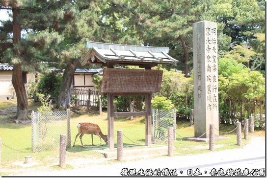 奈良梅花鹿公園09