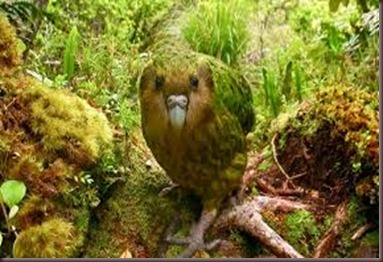 Amazing Pictures of Animals photo Nature exotic funny incredibel Zoo Kakapo birds Aves. Alex (11)