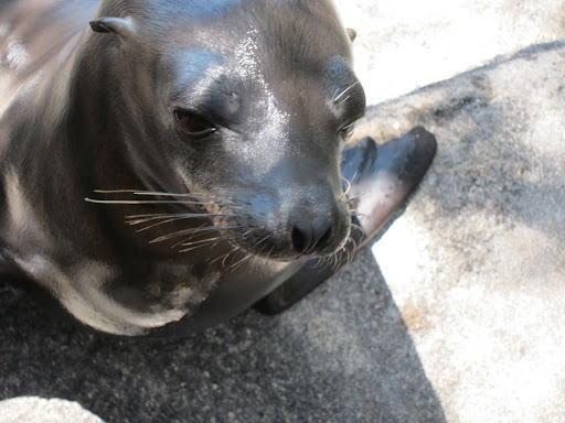 A curious sea lion who liked sniffing Erik's clothes.