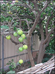 The open forked trunk of this Washington Navel orange tree serves as a useful storage place for home-grown bamboos used for staking tomatoes