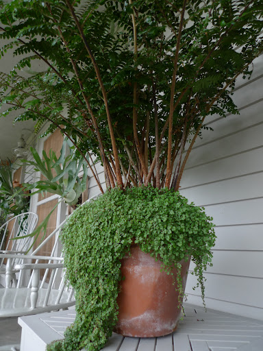 These large potted ferns are back on the tables where they were before.  I just love how the baby tears trail down the sides of the pots.  Don't you, Franny?
