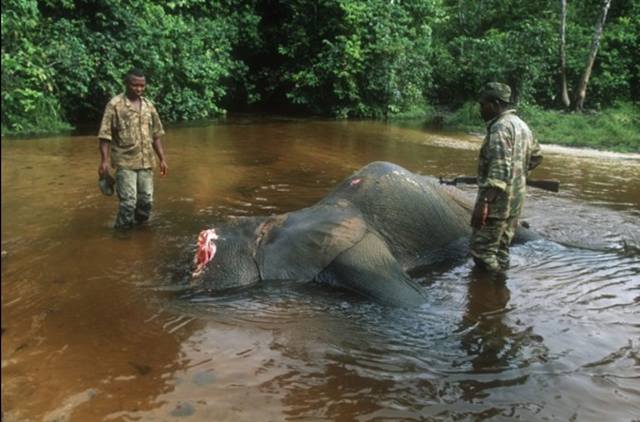 In this undated photo released Thursday 25 April 2013 by WWF-Canon, game guards inspect the carcass of a forest elephant killed by poachers in the Dzanga-Sangha National Park, Central African Republic. Elephant meat is flooding food markets in villages near a famed wildlife reserve in Central African Republic one month after rebels believed to be involved in poaching overthrew the government, conservationists said Thursday, April 25, 2013. Photo: Martin Harvey / WWF-Canon / Associated Press