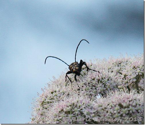 10-4-Banded-Longhorn-Beetle-(Leptura-quadrifasciata)