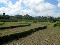 Rice paddies galore - Eco Bike Tour - Ubud Region