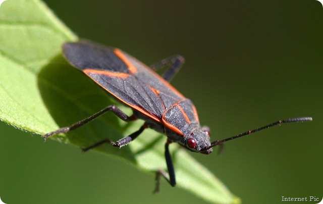 Boxelder_bug_pittsburgh